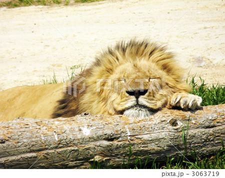 ライオンの寝顔の写真素材 , PIXTA