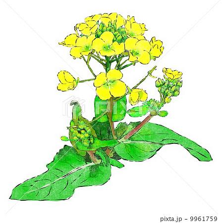 花 菜の花 3月の花 4月の花のイラスト素材 Pixta