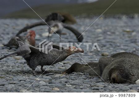 オオフルマカモメの写真素材 - P...