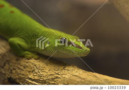 ヒルヤモリ属の写真素材 - PIXTA