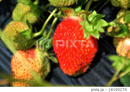 大薔薇苺の写真素材 - PIXTA