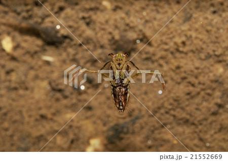 マツモムシの写真素材 - PIXTA